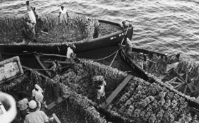 Banana boats loading a ship at Kingston, Jamaica in 1936
