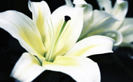 Close-up of white lilies. © Hoi Fung Tsoi/Getty Images