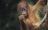 Young Orang-utan, Indonesia. © Anup Shah/Getty Images