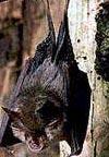 Lesser Horshoe bat