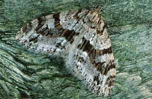 <i>Trichopteryx polycommata</i>:  Barred Tooth-striped:  <br>© Rob Petley-Jones,UKMoths