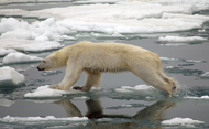 Polar bear (iStockphotos)