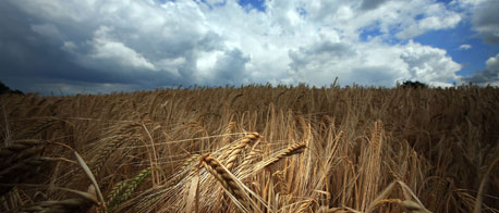 Barley crop in the UK (Getty images)