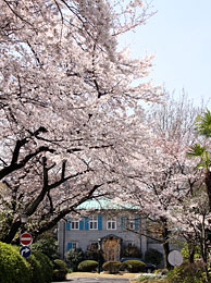Cherry blossoms in front of the No2 House of the British Embassy Tokyo