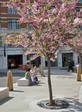 Cherry tree on street