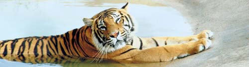 A tiger in a zoo