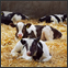 Photo of calves