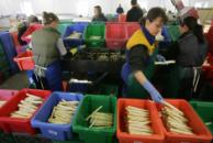 Seasonal workers packing vegetables. © Getty Images
