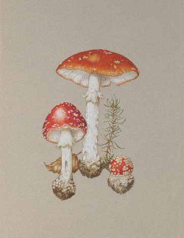 Amanita muscaria by Ray Cowell
