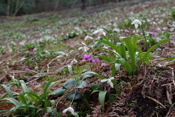 Cyclamen coum and Galanthus woronowii in Georgia