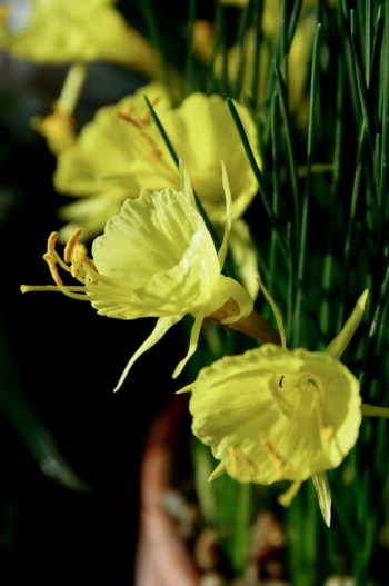 Yellow form of Narcissus romieuxii