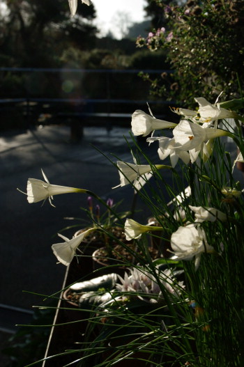 White form of Narcissus romieuxii