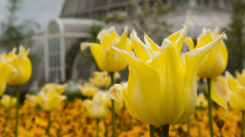 Yellow flowers in the foreground with Kew's iconic Palmhouse house in the background