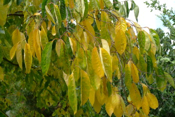 Diospyros leaves