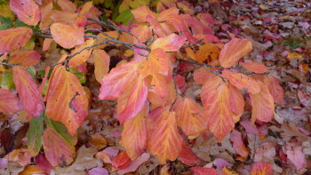 Parrotia leaves