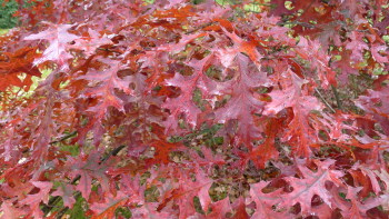 Quercus coccinea leaves