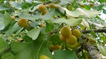 Ginkgo fruits