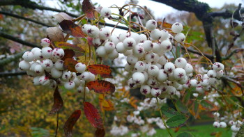 Sorbus forestii fruits