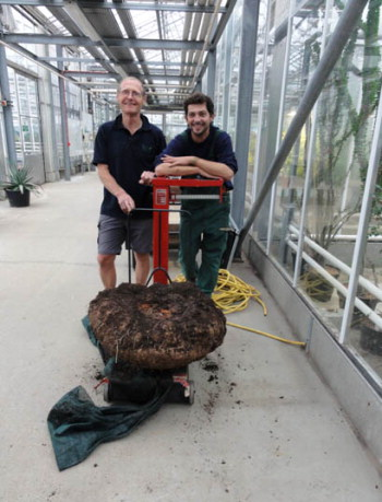 Charles Shelton (on the left) and Marcelo Sellaro weighing the titan arum tuber