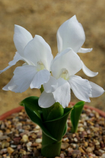 The white form of Roscoea humeana