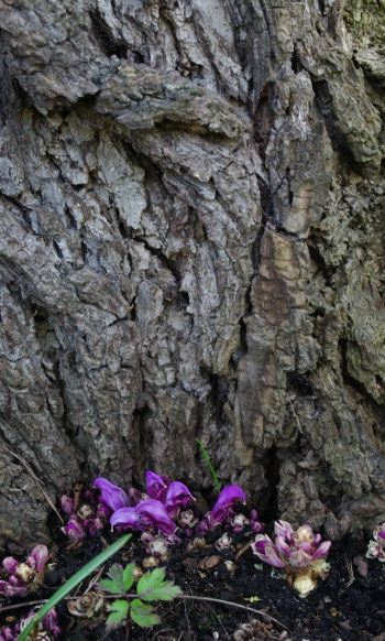 Purple toothwort flowering at the base of the black walnut tree