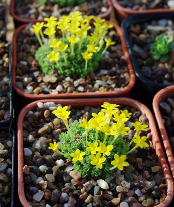 Dionysia young plants