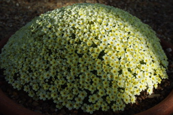 A Dionysia hybrid covered in pale yellow flowers