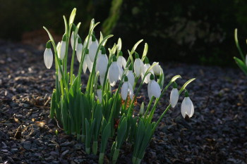 Galanthus elwesii on Kew's Rock Garden in early January
