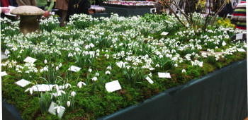 Snowdrops for sale at a flower show in February