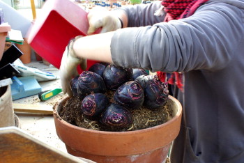 Repotting the bulbs of Scilla madeirensis