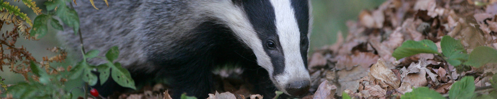 Badger by Danny Green