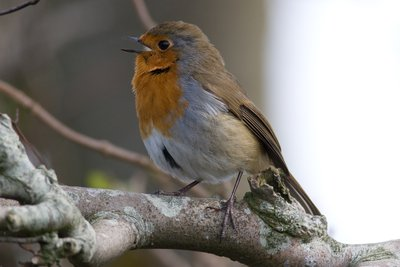 Large_bird_robin_d