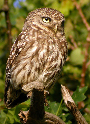 Large_bird_-littleowl-_d