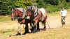 Traditional chain harrowing in Bloomers Valley using working horses from the Working Horse Trust