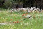 Wild poppies near Ajloun, Jordan