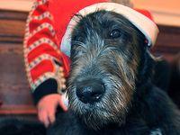 Irish Wolfhound puppy Domhnall