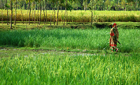 A woman crosses a ricefield in Rangpur, Bangladesh. Picture: International Rice Research Institute