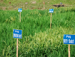 Submergence rice test fields in Gazipur, Bangladesh. Picture: IRRI