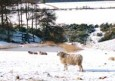 Sheep in snow