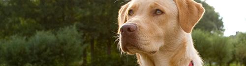 Labrador - Picture: www.flickr.com/photos/az1172/