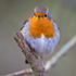 European robin © Natural England