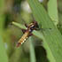 Female Broad Bodied Chaser © Natural England/Steve Hiner