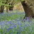 Bluebell wood © Peter Roworth / Natural England