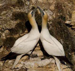 Northern gannets © Mike Meadows