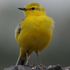 yellow wagtail © Tim Marlow