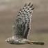 Female hen harrier in flight © Richard Sanders
