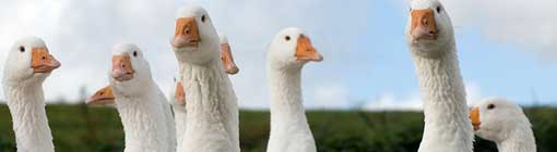 Image of geese