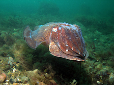 Cuttlefish (Sepia officialis) at Selsey Bill © Alexander Mitchell