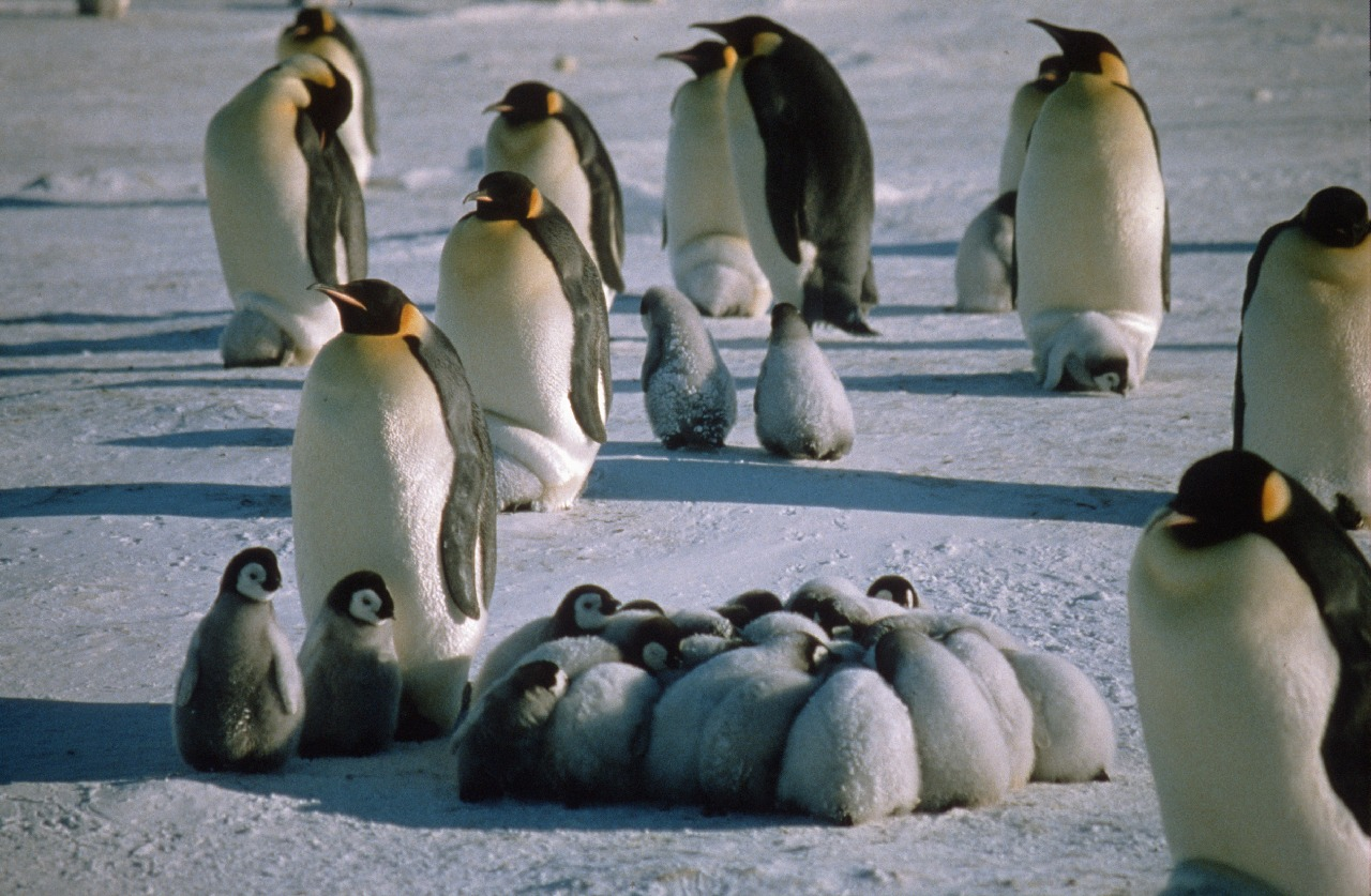 Emperor Penguins ( Aptenodytes forsteri ) with chicks in  a creche