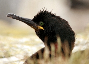 The Shag Phalacrocorax aristotelis - one of the UK bird species for which SPAs have been classified - © Pierre Tellier
